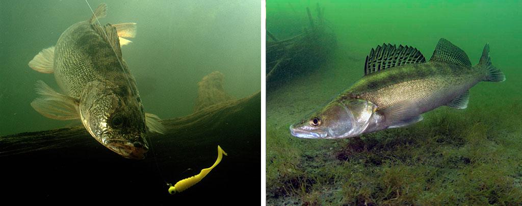 Фото судака под водой