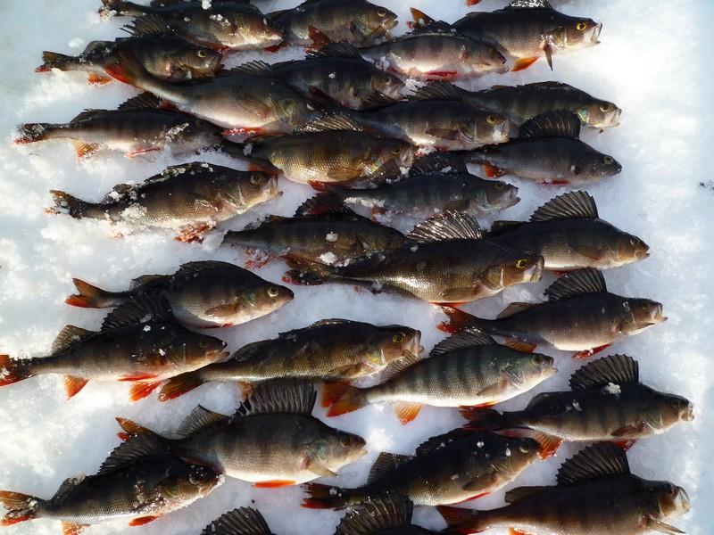 почему плохо клюет в январе рыба ленок