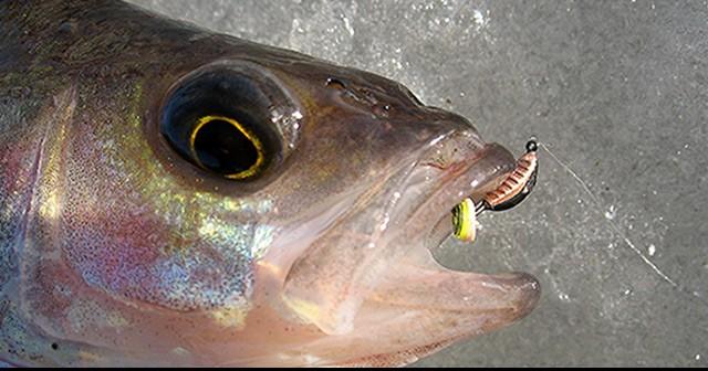 Ловля рыбы профессионалами на безмотылку на кивок